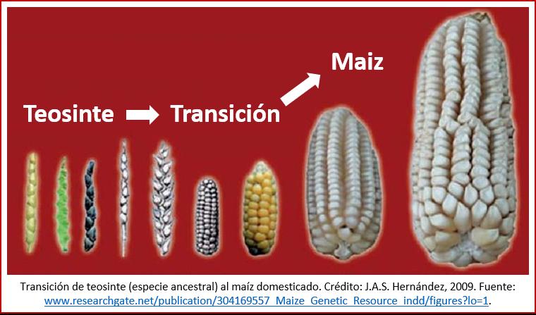 Blog 191027 - Revolución neolítica 2 - maiz